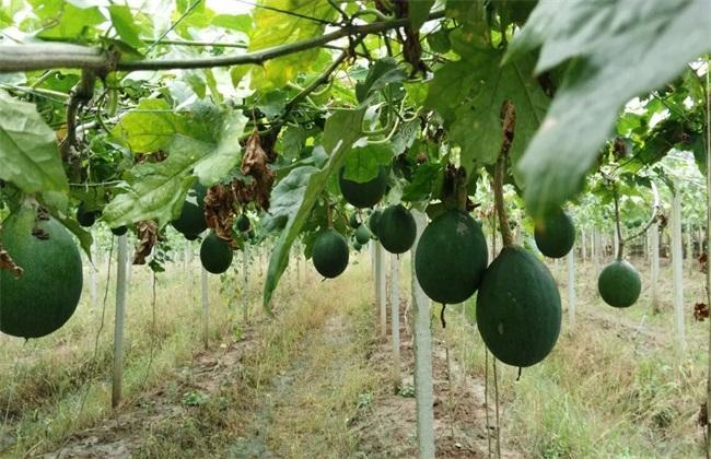安徽80后女孩陈娇农村创业种植瓜蒌年赚千万