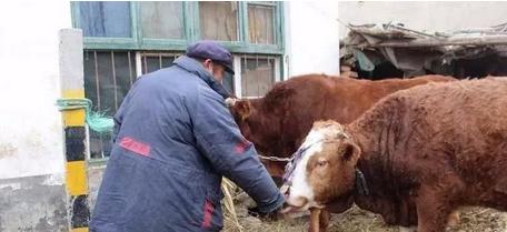 农村创业可尝试养牛,5万资金一样可以养,熬得住就能赚钱